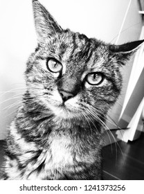 Black and white picture of beautiful tortoiseshell cat staring at camera.  Kitchen home interior background. Bold eyes, whiskers and fluffy fur.