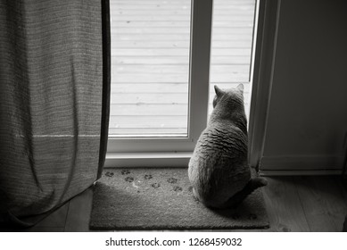 Black and white picture of British Shorthair Cat sitting on a floor mat with paw prints in front of an open patio door with a curtain in a house in Edinburgh City, Scotland, UK