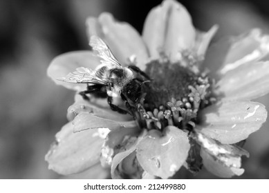 Black and White Picture of Bumble Bee Gathering Pollen
