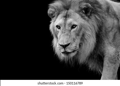 Black and white picture of a Lion in Africa