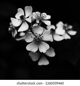 Black and white picture of a Multiflora Rose
