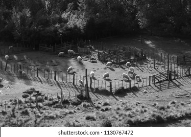 Black and white picture for sheep eating grass in the city San Martin De Los Andes in the south of Argentina