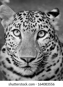 Black and white picture of a white tiger