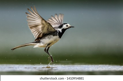 Black and white Pied Wagtail taking flight with a splash of water droplets from it's feet after bathing in the shallow water with outstretched wings and and sharp feather detail.