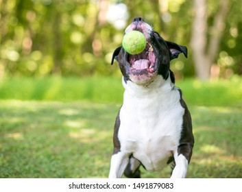 A black and white Pit Bull Terrier mixed breed dog jumping and opening its mouth to catch a ball