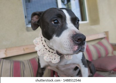Black and White Pitbull Mix Dog in a Handmade Crochet Collar, Sitting on an Outdoor Sofa
