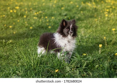 Black and white Pomeranian Spitz puppy outdoors on green grass