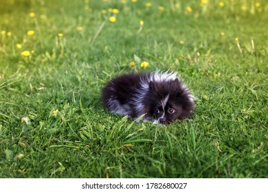 Black and white Pomeranian Spitz puppy outdoors lies on green grass