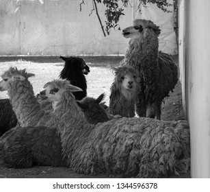 black and white portrair of a herd of llamas resting