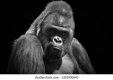 4202e0c36 Black and white portrait of an adult male gorilla on a contrasting black  background