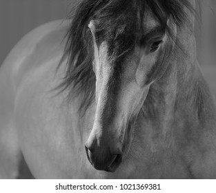 Black and White portrait of Andalusian horse in motion. Front view.