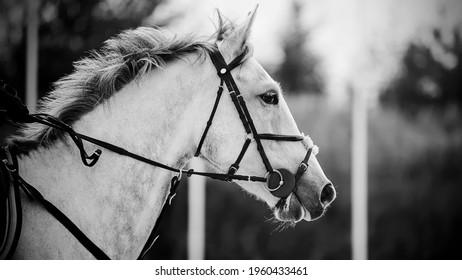Black and white portrait of a beautiful fast horse with a gray mane and a bridle on its muzzle, which gallops. Equestrian sports.