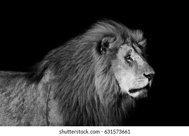 Black and white portrait of big Lion Romeo 2 in Masai Mara, Kenya