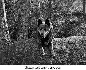 Black and White Portrait of Blue Heeler Cattle Dog Perched on Rock