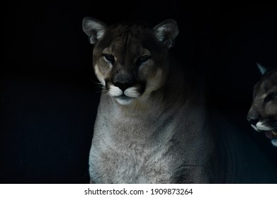 Black and white portrait of a captive Cougar also known as Puma or panther in a Zoo in South Africa
