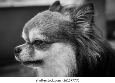 Black and white portrait chihuahua dog