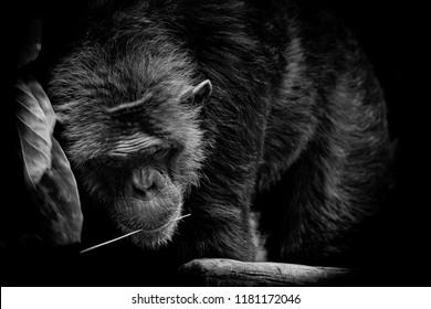 Black and White portrait Cutie Gorilla bite branch in his mouth on black background