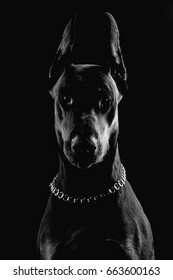 Black and white portrait of doberman in low key