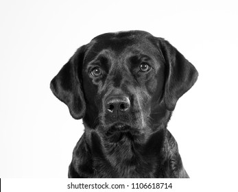 Black and white portrait of dog. The dog breed is a labrador. Copy space with isolated on white.