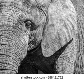 Black and white portrait of an elephant.