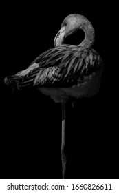 Black white portrait of a flamingo that rests on one leg.