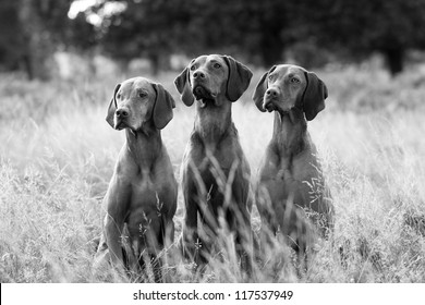 Black and white portrait of Hungarian Vizsla dogs sitting in long fall grass