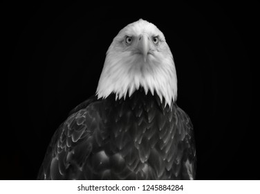 Black and white portrait of a large predatory bird on a black background. Beautiful eagle with a white head and dark plumage