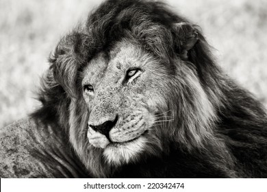 Black and white portrait of the legendary Lion Notch, Masai Mara, Kenya