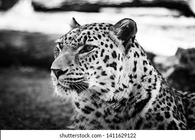 black and white portrait of a leopard