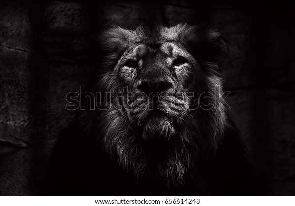 Black and white Portrait of a lion closed in a cage.