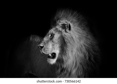 Black and white portrait of a Lion in Masai Mara, Kenya