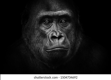 Black - white portrait of a lowland gorilla.