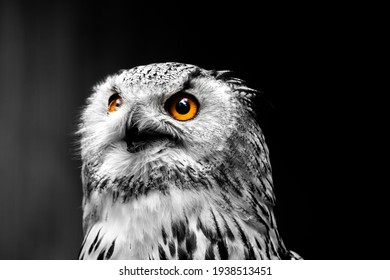 Black and white portrait picture of an  white eagle owl or snow owl - bird isolated on black background - animal portrait with bright, orange eyes - owl or bird wallpaper - owl looking focused