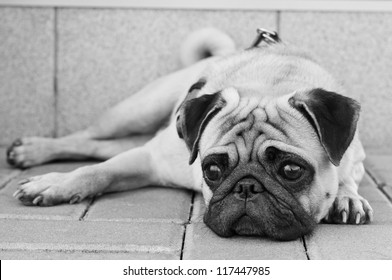 Black and white portrait of sad purebred pug dog lying on blocks outdoors and looking somewhere with depression in his eyes