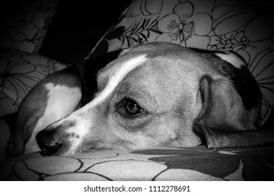 Black and white portrait of a sweet beagle puppy dog