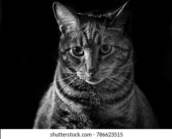 Black and White Portrait of Tabby Cat