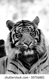 Black and white portrait of tiger.