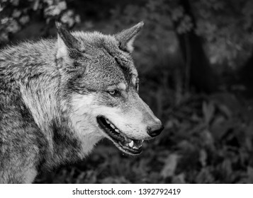 Black and white portrait of a wolf in the nature