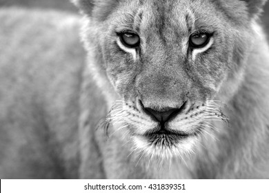 A black and white portrait of a young baby lion cub. Photo taken on safari in South Africa.