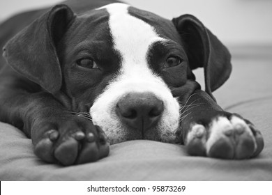 Black and white portrait of young Pit Bull puppy