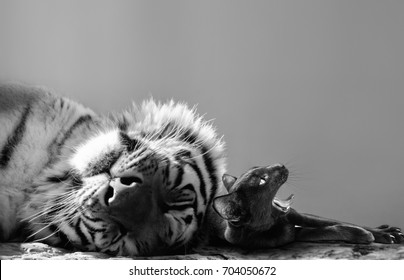 Black and white of a powerful tiger and small cat friend enjoying a catnap together