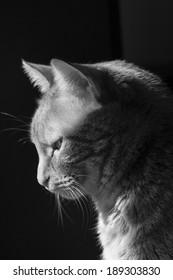 Black and white profile of a pretty cat