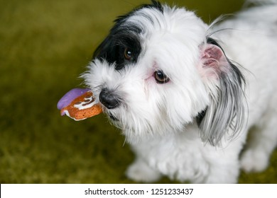 Black and white puppy caught with a frosted teddy bear or snowman cookie in its mouth and the icing partially licked off. Soft green background