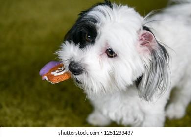 Hypoallergenic Dog Breed Images, Stock Photos & Vectors | Shutterstock