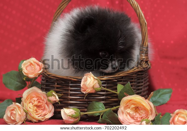 Black and white puppy of pomeranian dog in backet iwith flowers on red background