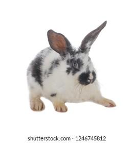 black and white rabbit isolated on white background