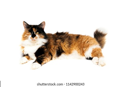 Black white red cat on a white background