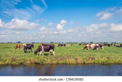 Schwarz-Weiß- und Rot-Weiß-Milchkühe, die auf derselben Wiese friedlich zusammen weiden. Das Foto wurde an einem sonnigen Tag im niederländischen Alblasserwaard-Polder in der Provinz Südholland aufgenommen.