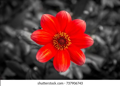 Black and white / red flower