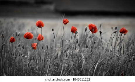 Black, white and red. Wild poppies